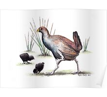 Tasmanian Nativehen Poster