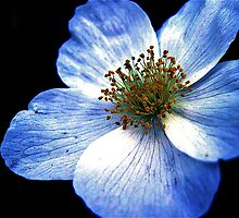 Blue Flower Close-Up by johnnycdesigns