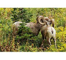 Two Rams Photographic Print