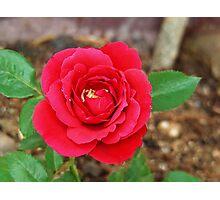 Beautiful Fusia Rose Flower Series 3 Photographic Print