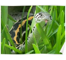 Black-Necked Garter Snake Sniffs the Air Poster