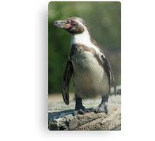 Posing Penguin Metal Print