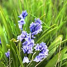 Bluebells In Spring by Vicki Field