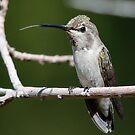 annas hummingbird by Dennis Cheeseman