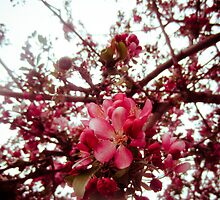 blossoms by Rachel Kelso