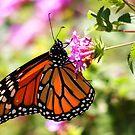 Butterfly pillow by fsmitchellphoto