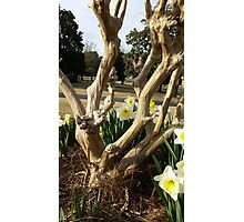Twisted Daffodils Photographic Print