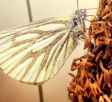 A Green-veined White (Pieris napi)...  Sticker