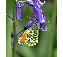 Orange tip Butterfly Photographic Print