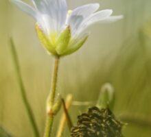 Cerastium fontanum subsp. vulgare  Sticker
