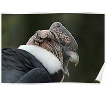 Head of a Male Andean Condor Poster
