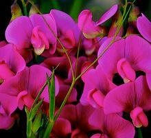 Sweet Pea by goddarb