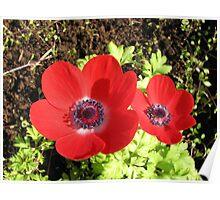 Singing of Summer - Scarlet Anemones Poster