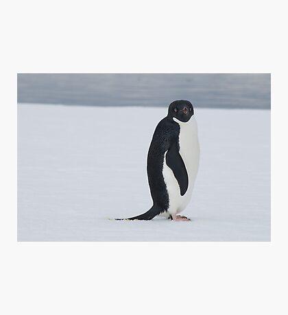 Penguin stare Photographic Print