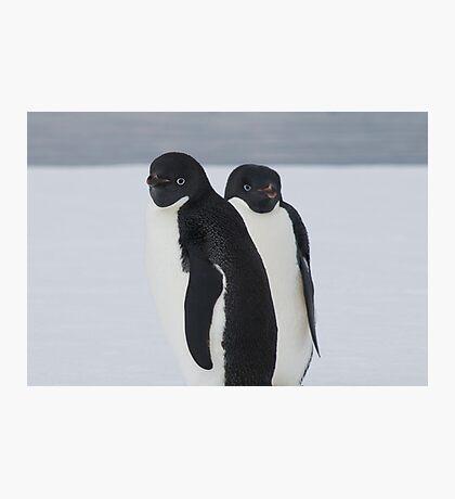 Penguin Pair Photographic Print