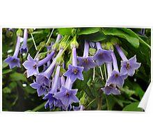 Iochroma Grandiflora Poster