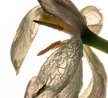 contre-jour of a dead white tulip by stresskiller