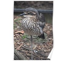 Stone Curlew Poster