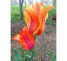 Fiery Tulips Photographic Print
