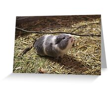 Guinea Pig Pet Sticker Greeting Card