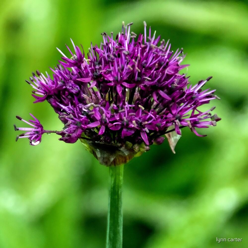 Purple Allium.......... by lynn carter