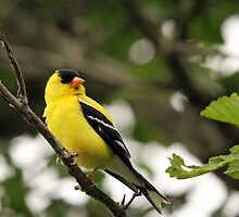 Brilliant Observer Goldfinch by Debbie Oppermann