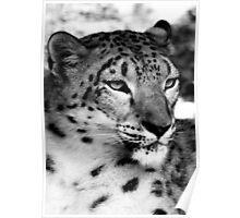 Snow Leopard No.8 Poster