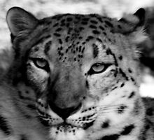 Snow Leopard No.10 by Erin Davis