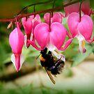 Bee on Bleeding Heart by ElsT