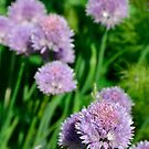 Chive Flowers by jojobob