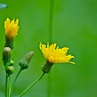 Beautiful yellow weed 1 by Carolyn Clark