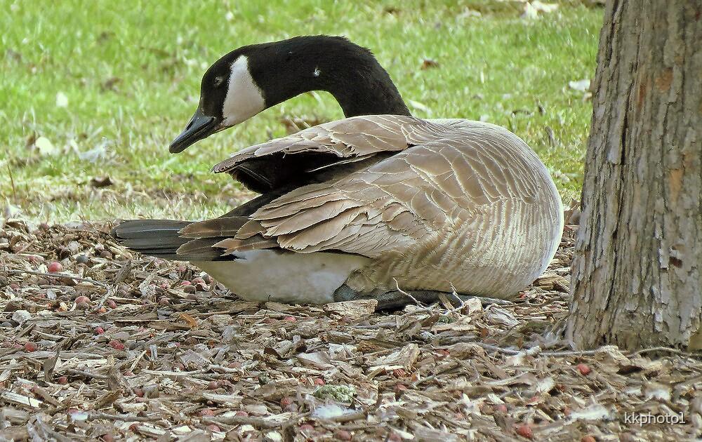 Preening Goose by kkphoto1