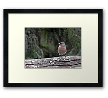 Wild chaffinch on a fence Framed Print