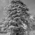 Deodar Cedar IR by Neil Bygrave (NATURELENS)