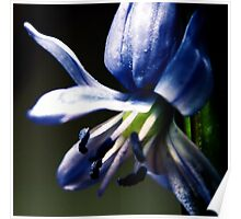 Siberian squill Poster