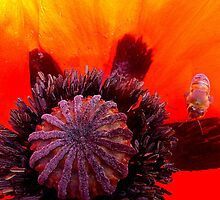 Pollinated bee on poppy by ©The Creative  Minds