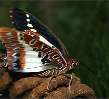 WHITE BARRED EMPEROR - CHARAXES brutus natalensis by Magriet Meintjes