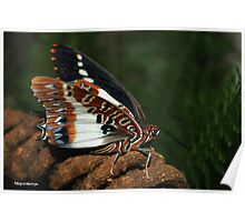 WHITE BARRED EMPEROR - CHARAXES brutus natalensis Poster
