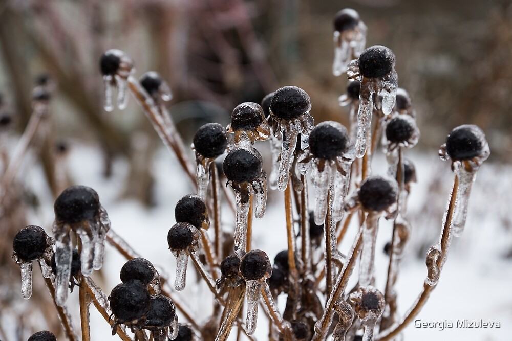 Toronto Ice Storm 2013 - Frozen Black Eyed Susans  by Georgia Mizuleva