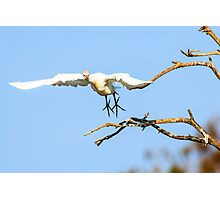Cattle Egret in Flight Photographic Print