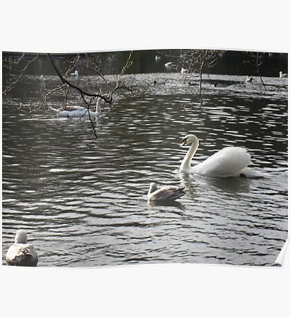 Swans on the Water Poster
