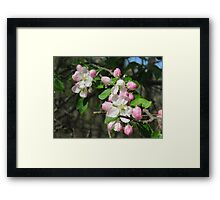 Pink And White Apple Flowers Framed Print