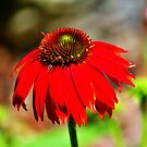 Salsa Red Coneflower by Cynthia48
