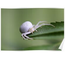 Goldenrod crab spider or flower crab spider Poster