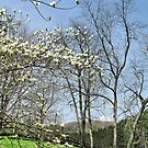 Dogwood on the Hill by Monnie Ryan