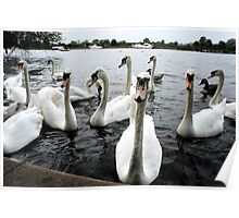 Group photo of Swans Poster