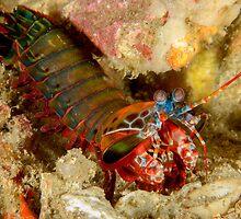 Peacock Mantis Shrimp - Odontodactylus scyllarus by Andrew Trevor-Jones