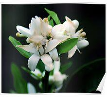 Lemon Blossoms Poster