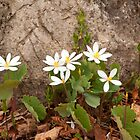 Spring Beauty - Bloodroot by Gillian Marshall