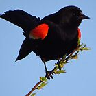 Red-winged Blackbird Under Blue Skies by lorilee
